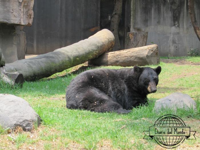 Black bear chapultepec