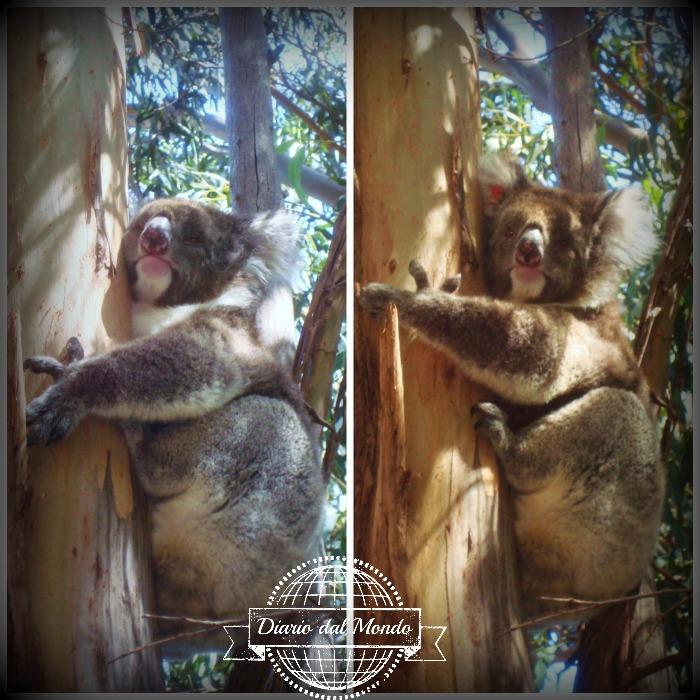 koala sanctuary KI
